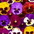 Mary Ann Southern - Pansy Explosion