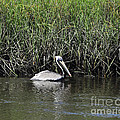 Al Powell Photography USA - Pelican Swimming