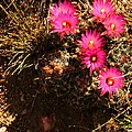 Richard Stillwell - Pincushion Cacti