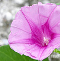 Sabrina L Ryan - Pink Morning Glory Flower