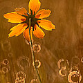 Robert Charity - Prairie Coreopsis and...