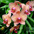 Sue Melvin - Pretty Peach Orchids