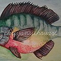Chris Bajon Jones - Pumpkinseed Bream