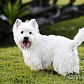 Nitiphol Purnariksha - Romeo The Westie