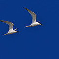 Tony Beck - Sandwich Terns