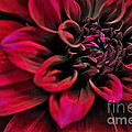 Kaye Menner - Shades of Red - Dahlia