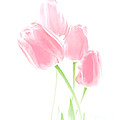 Jennie Marie Schell - Softness of Pink Tulip...