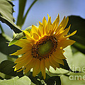 Nava Jo Thompson - Summer Sunflower