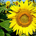 Julie Palencia - Sunflower Fields 1