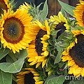 Chrisann Ellis - Sunflowers