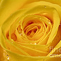 Tracy  Hall - Sunny Yellow Rose