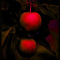Susanne Still - The Inner Light of Apples