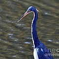 Al Powell Photography USA - Tricolored Heron Pose