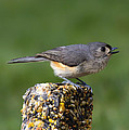 Bill Tiepelman - Tufted Titmouse on Treat