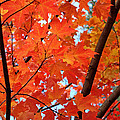 Rona Black - Under the Orange Maple...