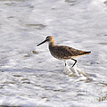 Al Powell Photography USA - Wading Willet