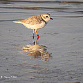 Roena King - Winter Piping Plover...