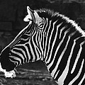 DiDi Higginbotham - Zebra in black and white