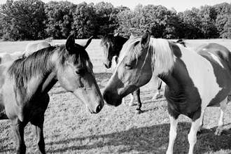 Horse or Horses Black and White Photographs only