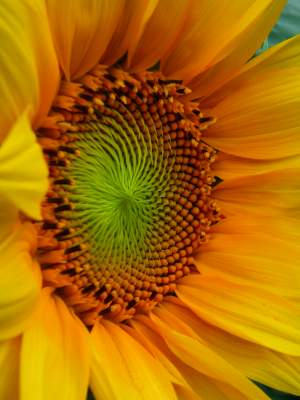 Your Best Sunflower Photograph