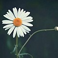 Classic Daisy --- Only white with yellow middle type - Art Group
