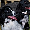 English Cocker Spaniel and English Springer Spaniels - Art Group