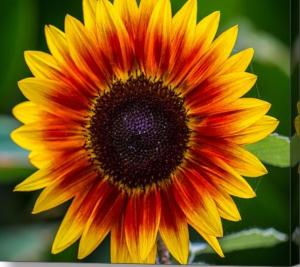 Limited Time Promotion On Sunflower Art