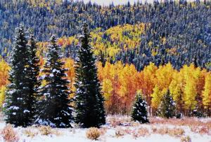 Shivering Pines In Autumn Selected As Featured Image